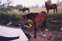 Horse nibbling on tent
